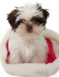 New Shih Tzu Puppy