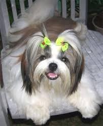 Puppy shih tzu haircuts