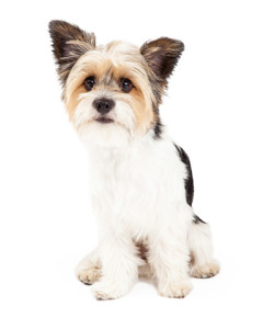 shih-tzu-temperament-sweet