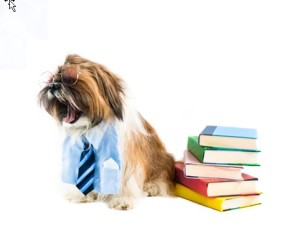 Shih Tzu Ready for School