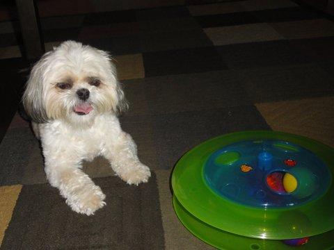 Training A Shih Tzu Puppy With Crate Training Shihtzu Web