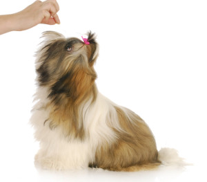 Shih Tzu Training How To Use Treats