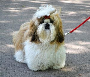 How-to-Shih-Tzu-Training-On-Leash