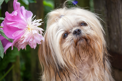 The Ultimate Guide To Shih Tzu Potty Training
