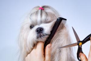 Shih Tzu grooming