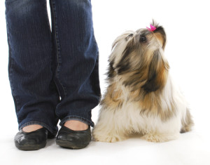 Shih Tzu Training