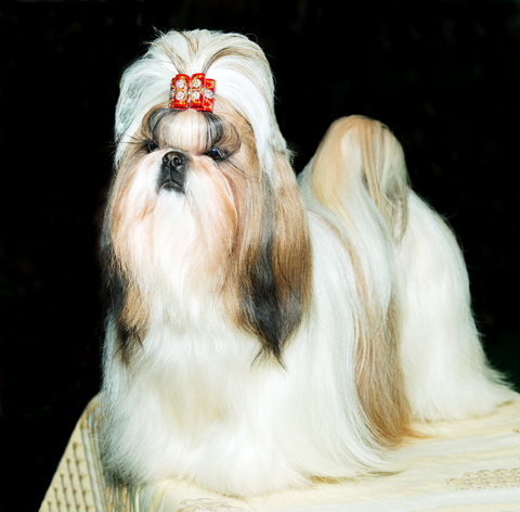Shih Tzu Face Grooming With Style