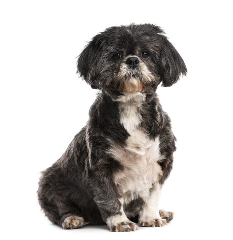shihtzu health problems